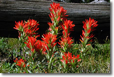 Indian Paintbrush Flower
